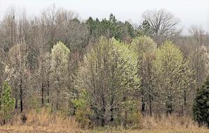 South Carolina will become only the second state in the United States to ban the nursery sale of Bradford pear trees and any other pear trees grown on the commonly used...